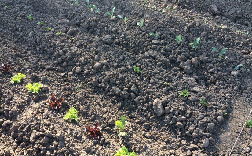 Impressionen vom Gärtnern: Gemüsebeet